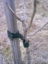 ingrid marie äppelträd zon
